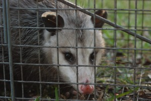 Possum Removal