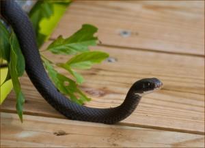 black snake removal, sblack snake control