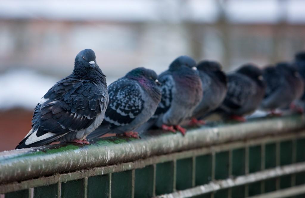 pigeon, bird removal