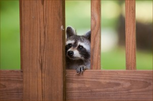 Manassas Wildlife Removal