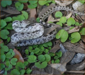 Shenandoah Valley Rat Snake Removal
