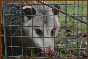 Virginia Opossum Removal
