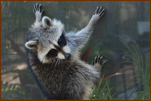 Raccoon on Pool Enclosure