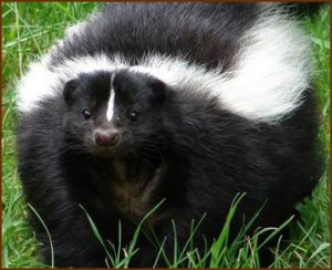 West Virginia Skunk Control