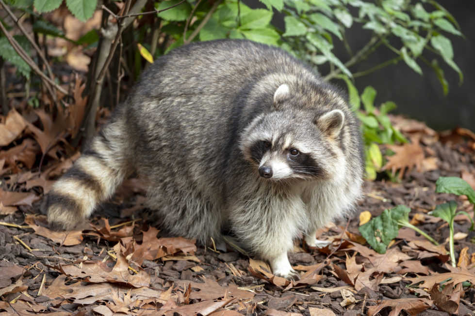 Raccoon removal, Xceptional, Wildlife Removal