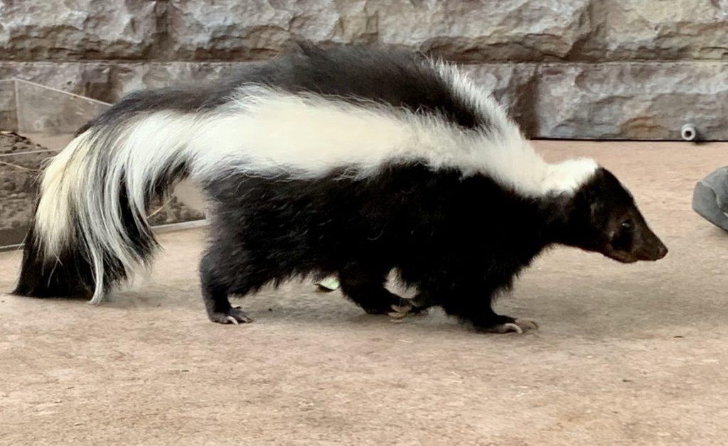 skunk-removal
