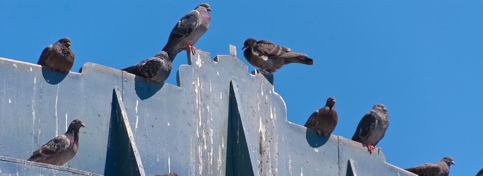 commercial bird control, bird removal