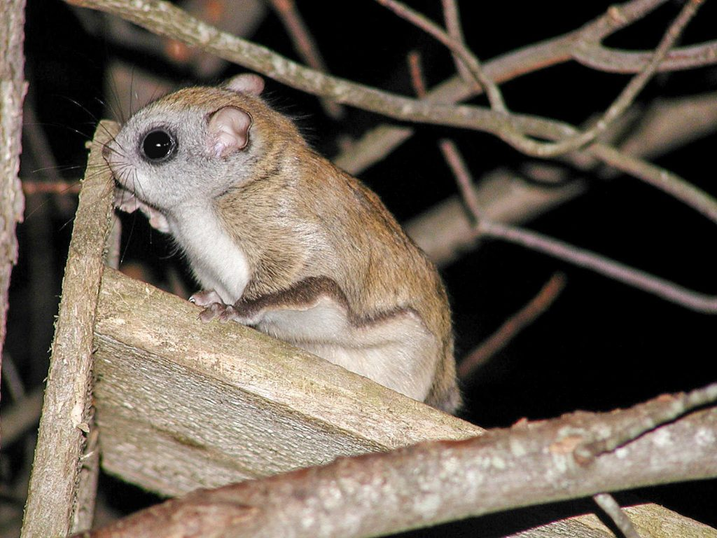 Flying Squirrel removal, wildlife removal services