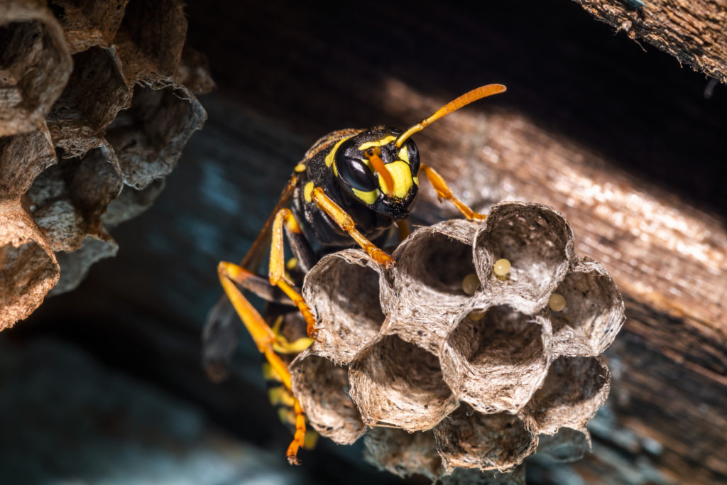 Asian hornet removal service