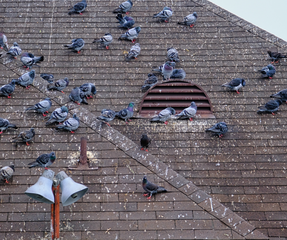 pigeon damage, pigeon removal services
