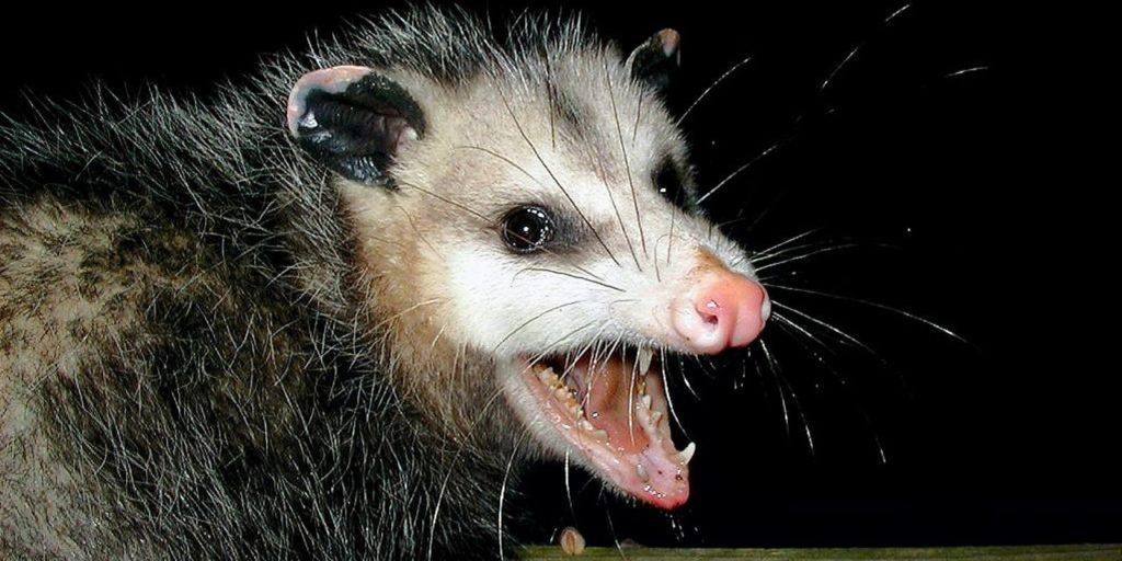 possum, wildlife removal services