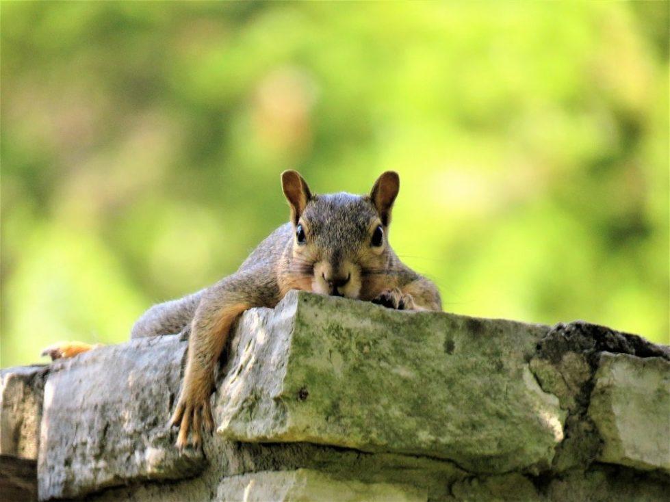 wildlife, Squirrel removal, squirrel damage