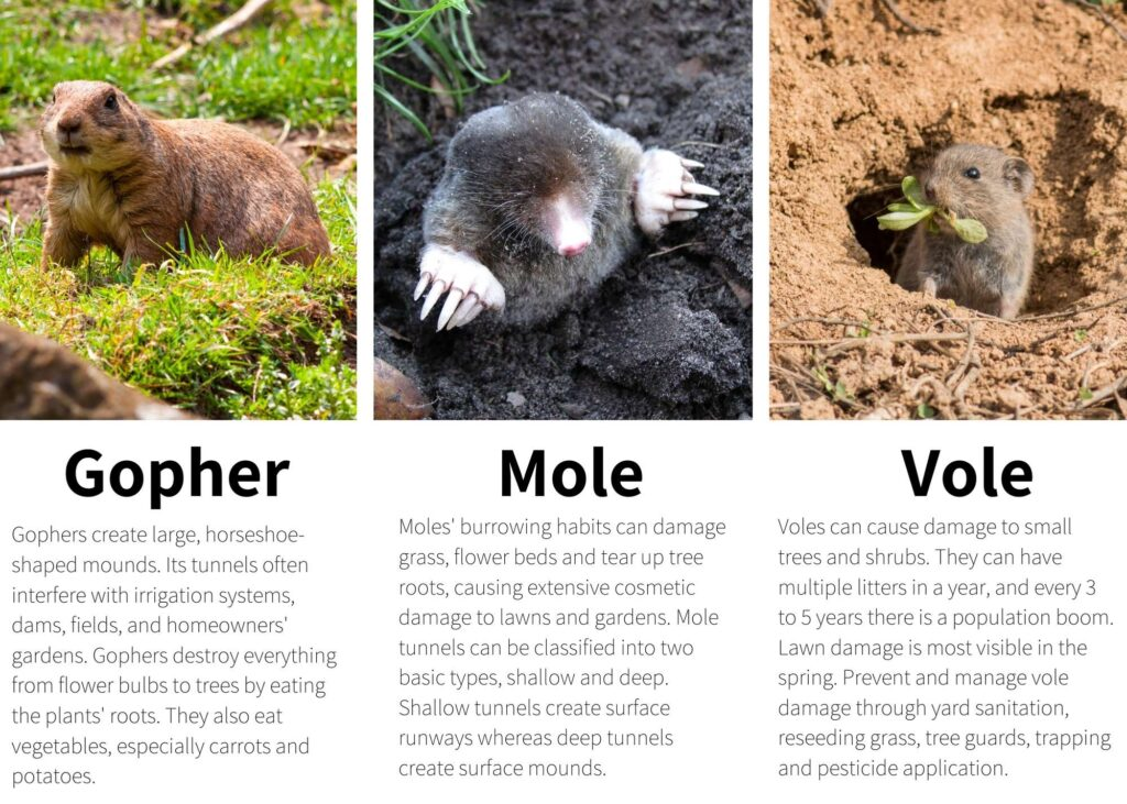 moles, voles and gophers -what's the difference