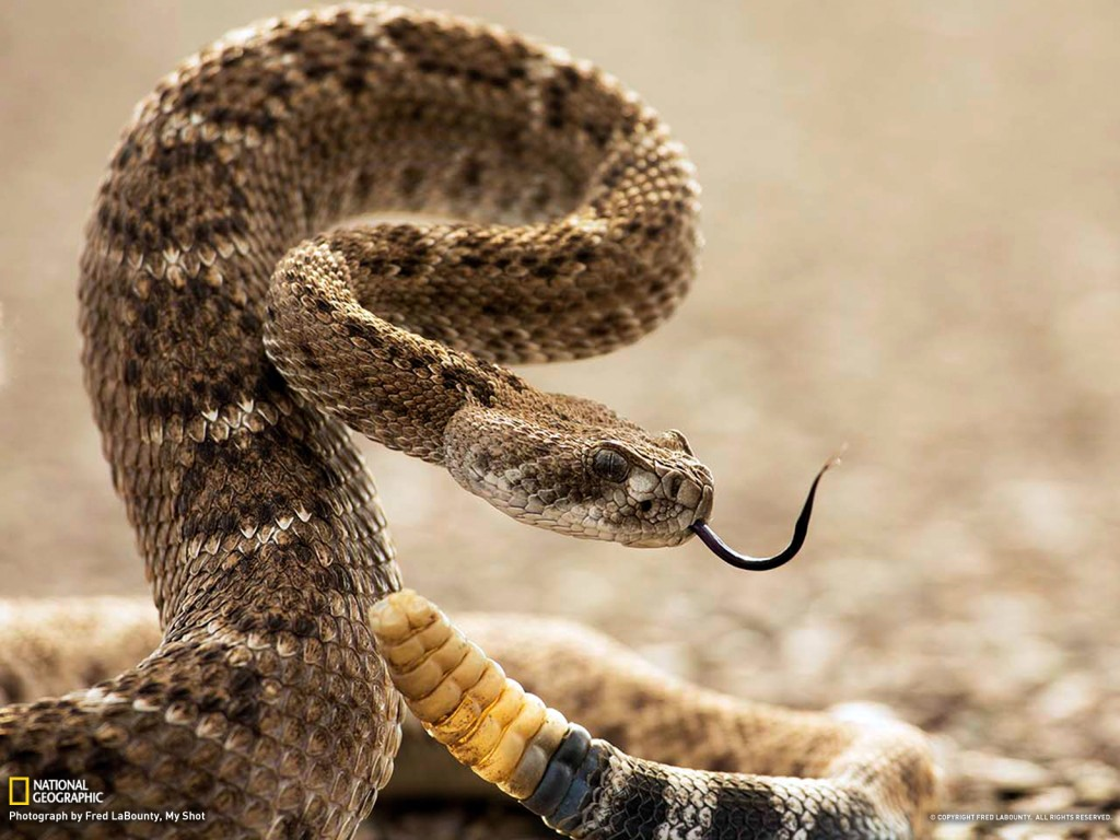 rattlesnake removal, snake removal