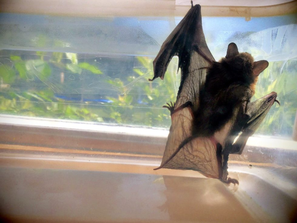 bat removal, safe bat removal