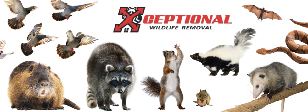 wildlife removal service, animal control, wild animal removal