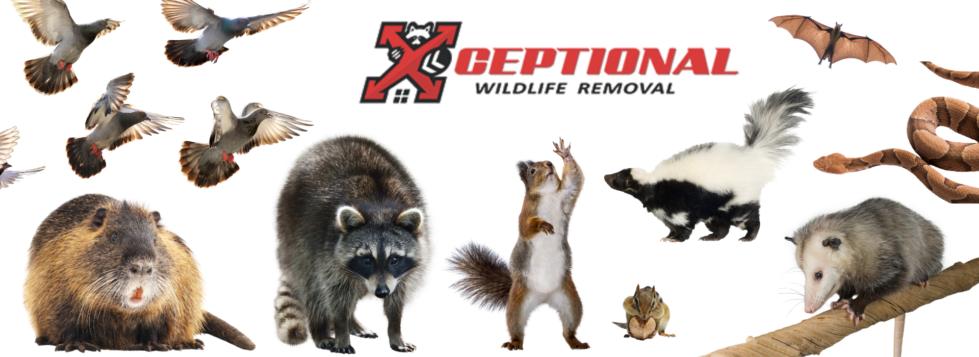 wildlife removal service, animal control, wild animal removal