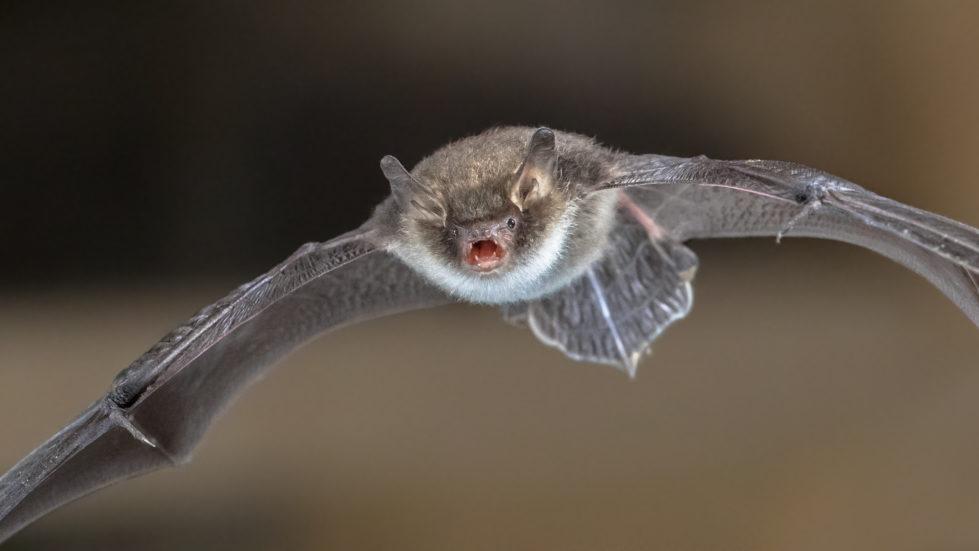 Bat Removal Houston TX