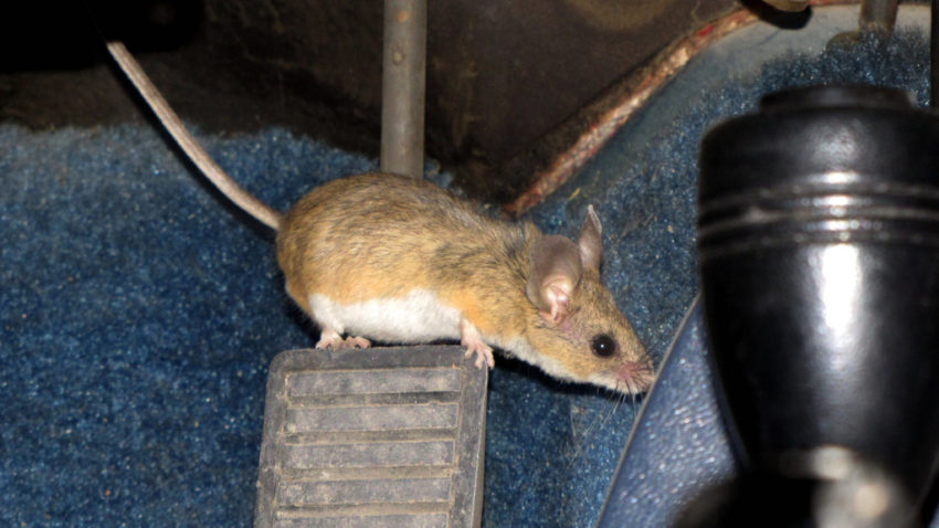 mice removal, pest control services