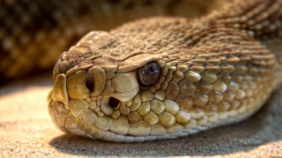 rattlesnake, snake removal