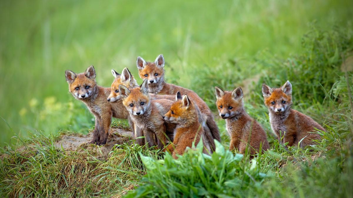 fox removal, animal wildlife control