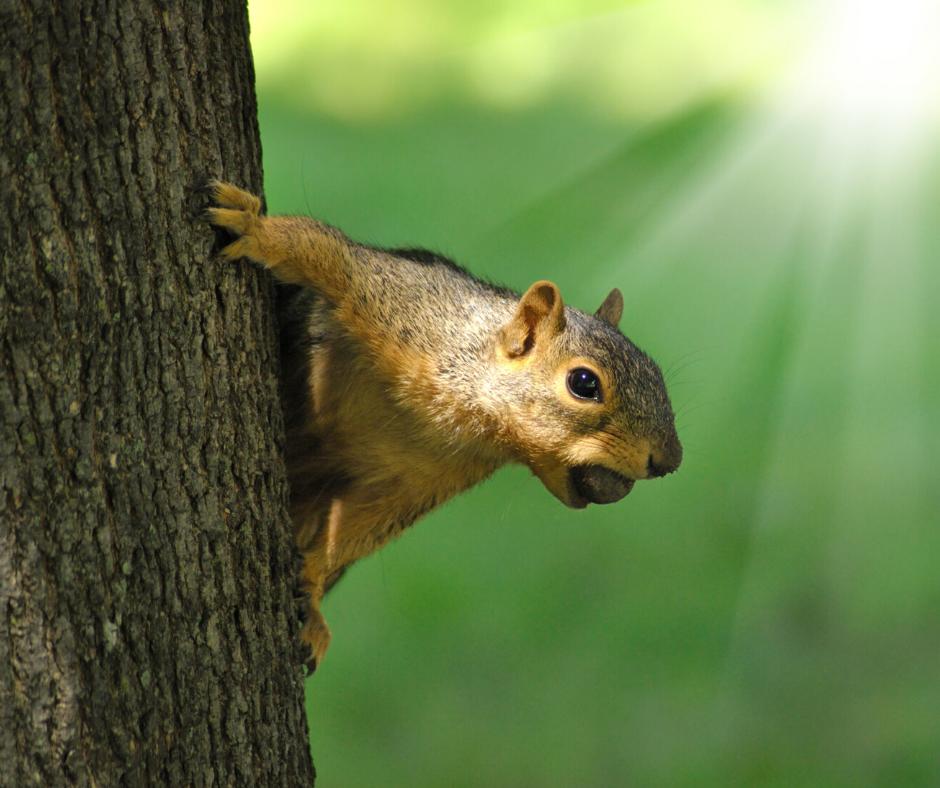 get rid of squirrels in attic