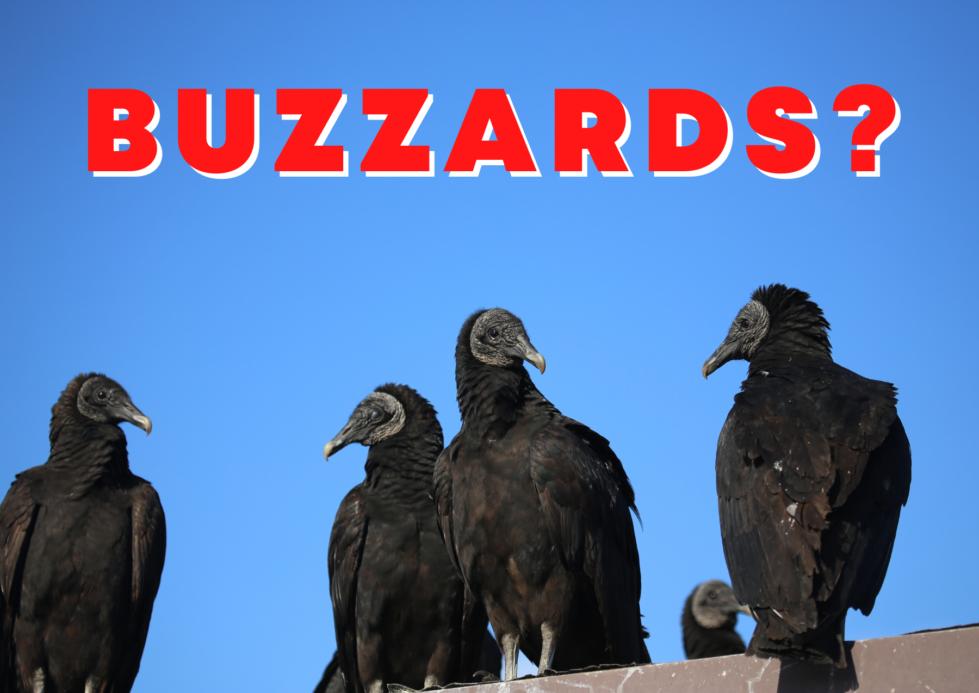 buzzard control, buzzard removal