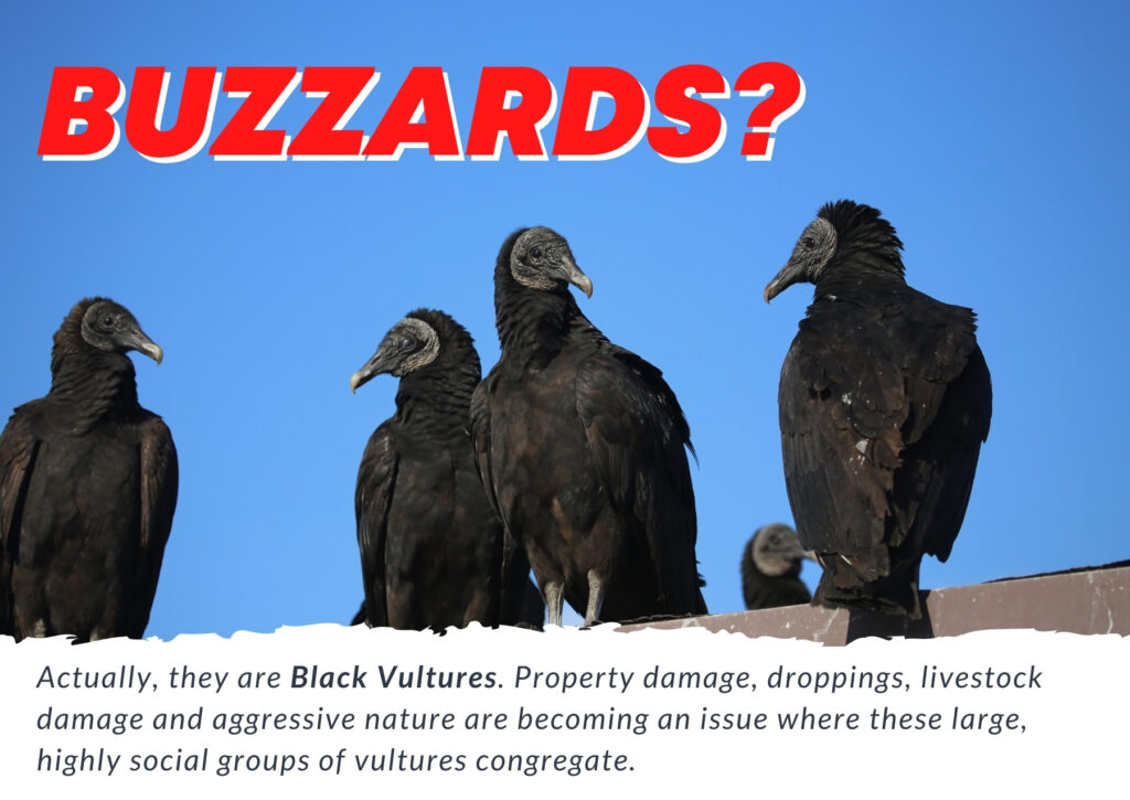 buzzard control, vulture removal