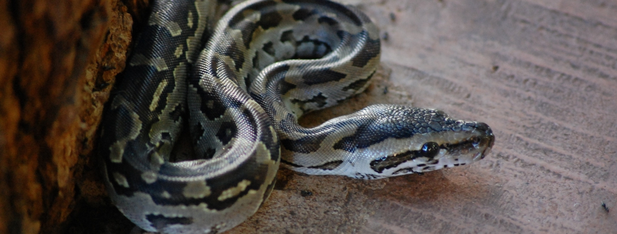 python snake removal in Florida