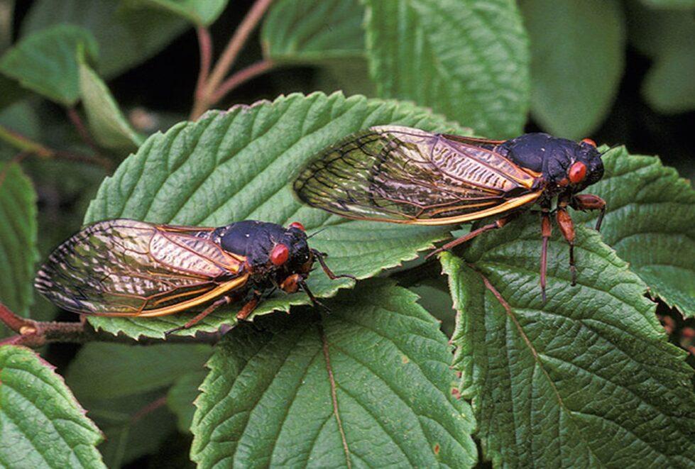 Cicada 2021, Brood X