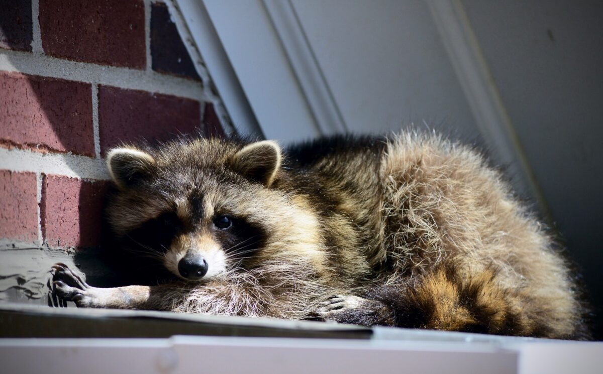 how to remove wildlife from an attic