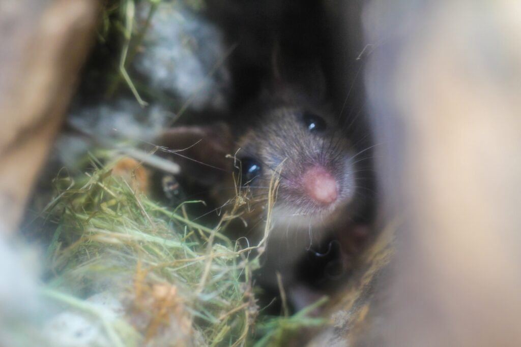 mice in walls, mice removal