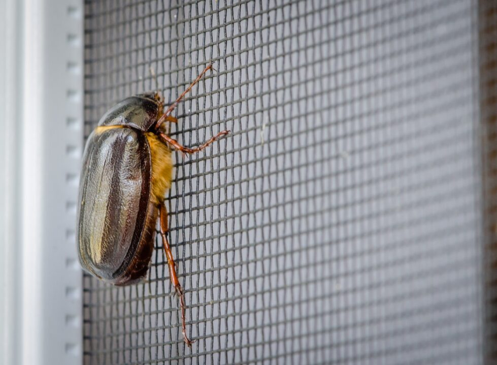 June bug control, june bugs
