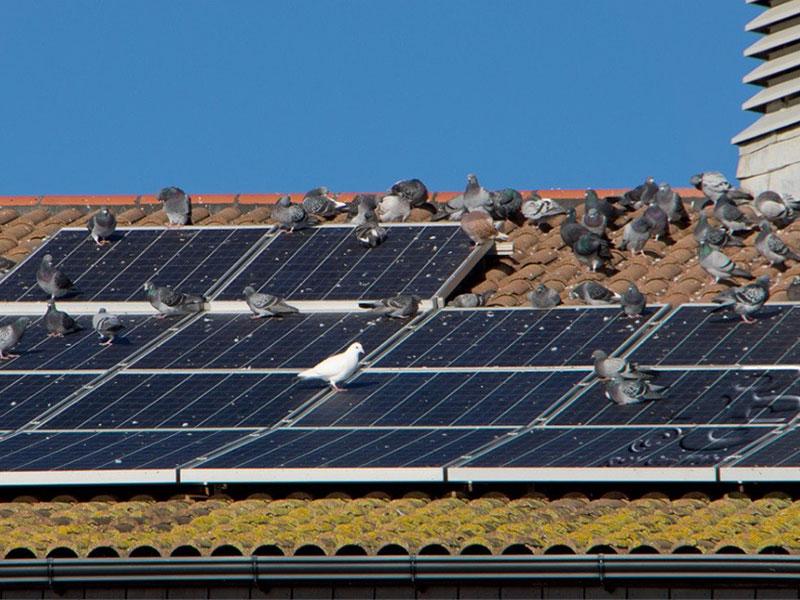 pigeon bird removal solar panels
