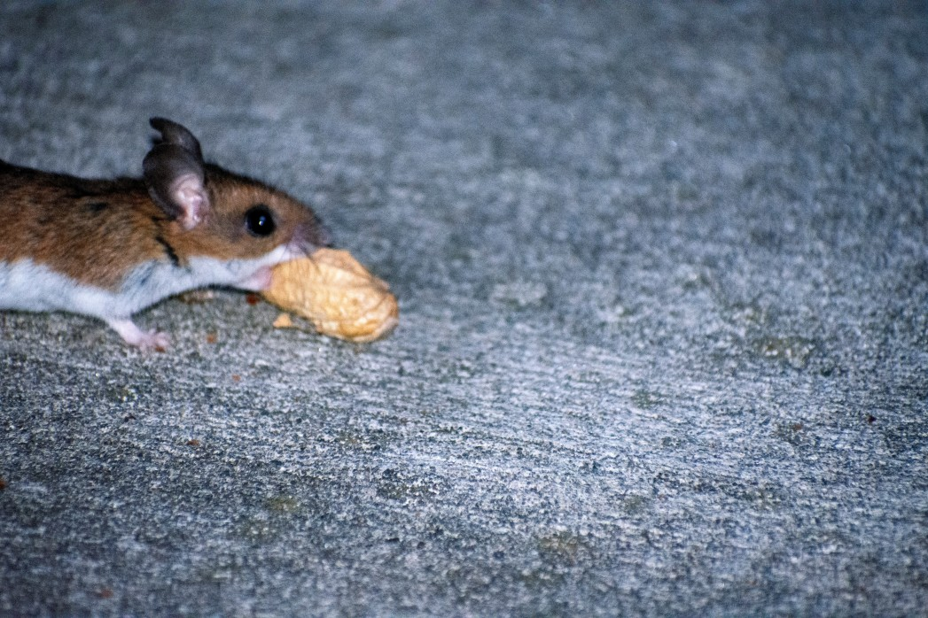 mice, rodent, pest control