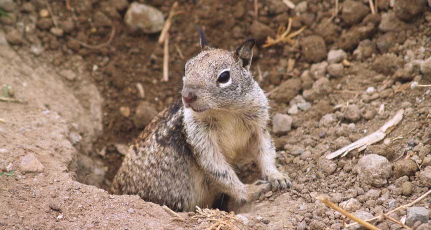 Get rid of ground squirrels